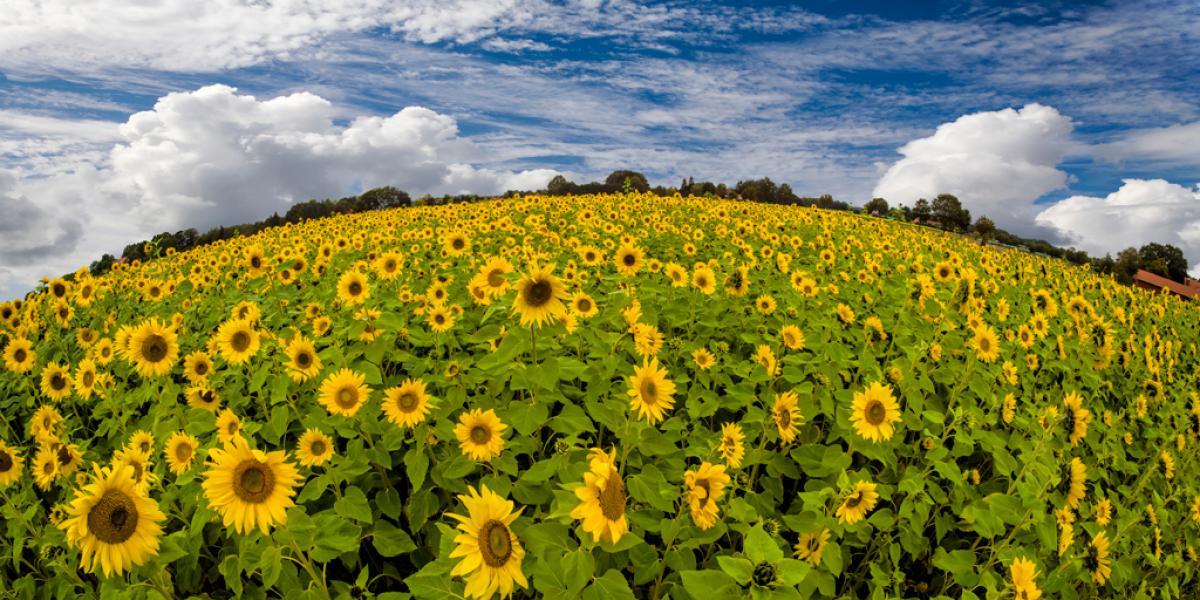 Sonnenblumenwelt