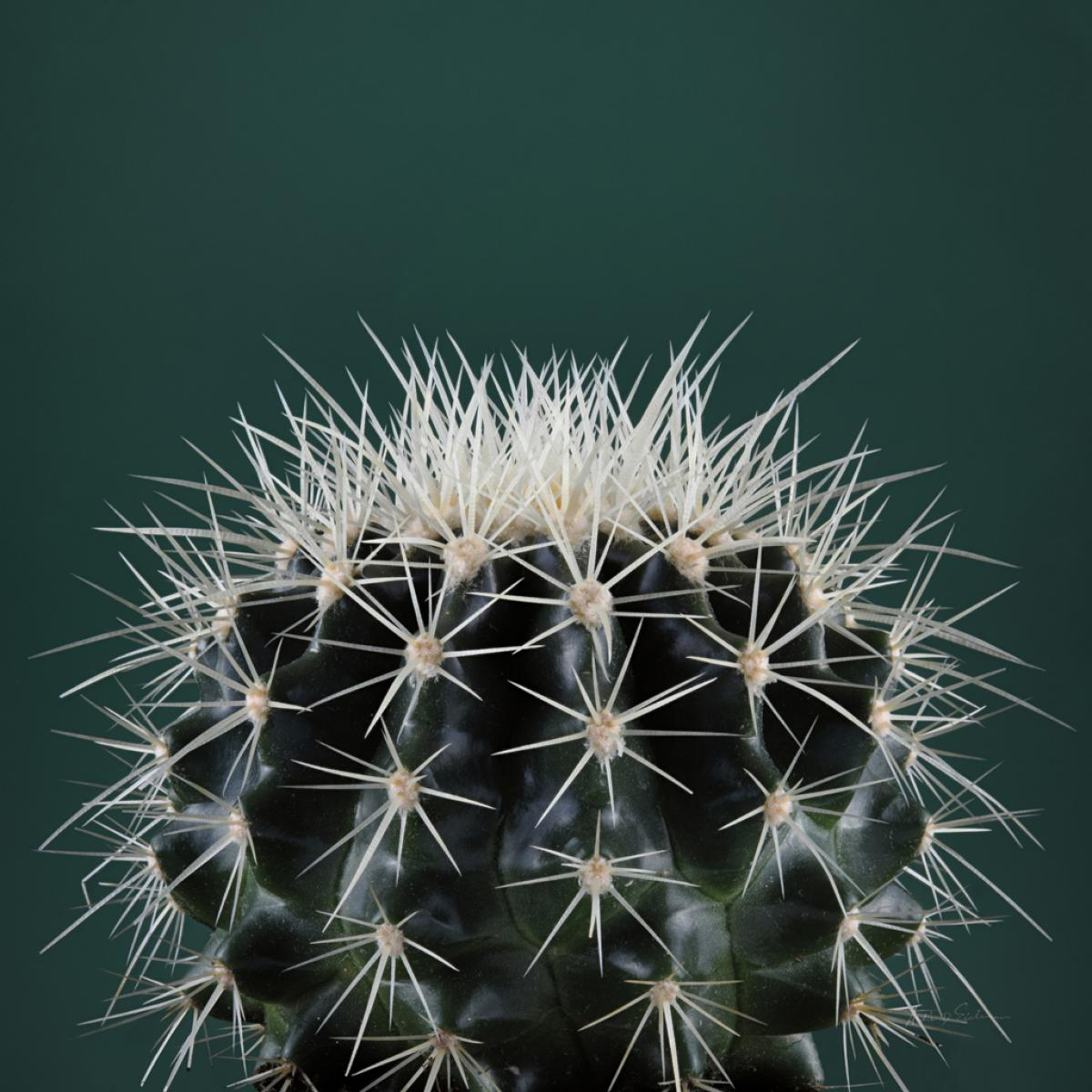 Cacti II