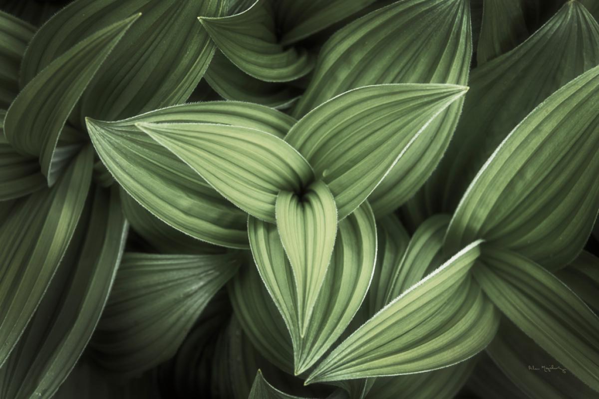 Corn Lily II
