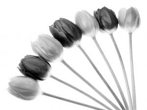 Tulips Array l