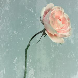 Romantic Pink Rose