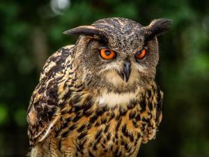 OE Oe Owl