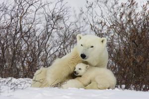 Three month old Polar Bear cubs nursing