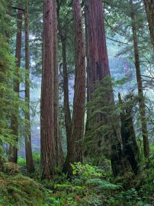 Old growth forest of Coast Redwood stand