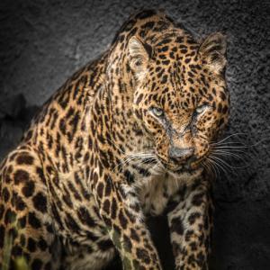 The Jaguar