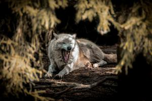 White Wolf II
