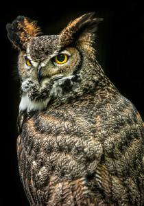 Wisdom Owl III