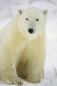 Polar Bear adult portrait, Churchill, Ca