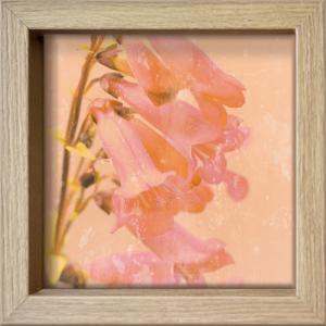 Romantic Foxglove
