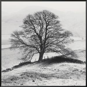 Misty Tree, Peak District,  England