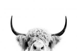 Peek a Boo Cow