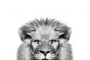Peek a Boo Lion