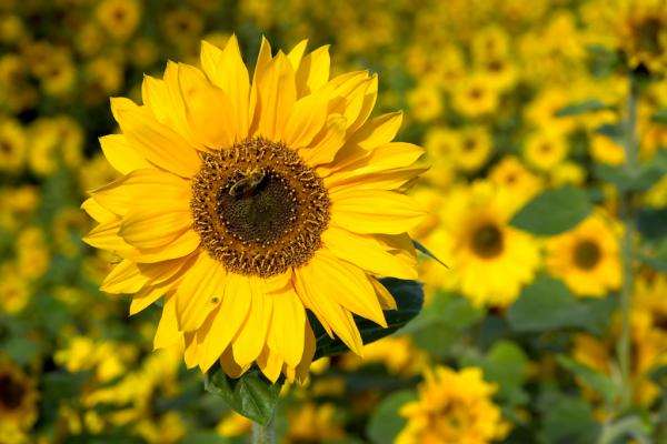 Honigbiene im Sonnenblumenfeld
