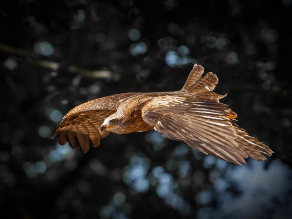 Red Kite flies