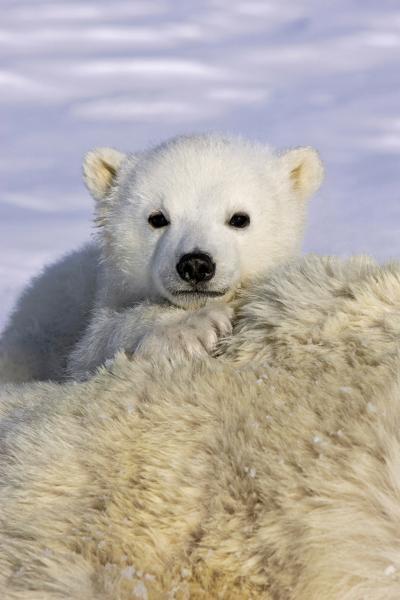 Polar Bear cub peeking over mother`s bod