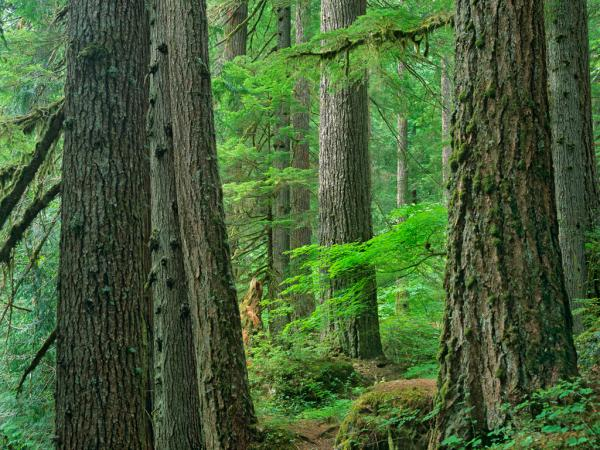 Old growth forest of Western Red Cedar G