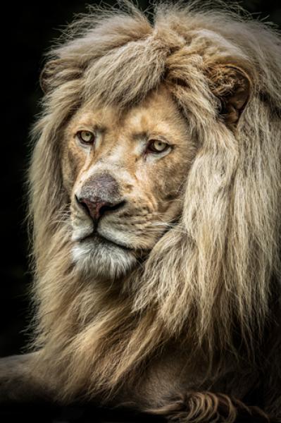 The white Lion II