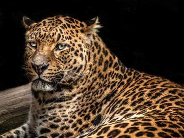 The Jaguar II