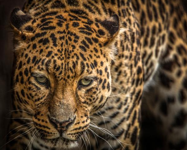 The Jaguar III