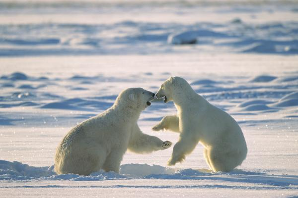 Polar Bear males fighting, Hudson Bay, C