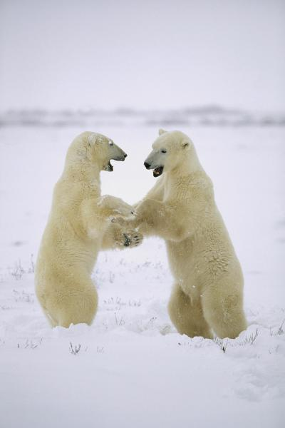 Polar Bear two males play-fighting, Huds