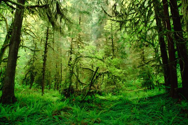 Rainforest, Hoh River Valley, Olympic Na