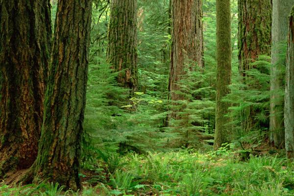Douglas Fir old growth forest, Vancouver