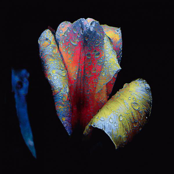 Tulpen-Nacht