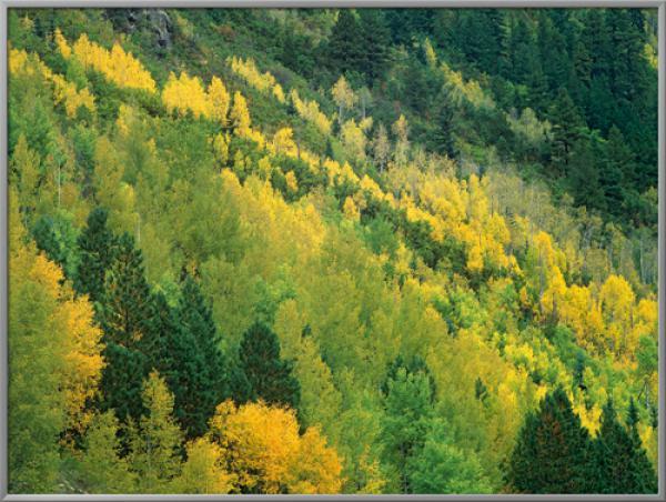Aspen grove in fall colors, Gunnison Nat