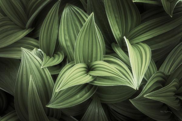 Corn Lily I